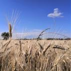 campo di grano della raccolta 2020 di Progeo Molini